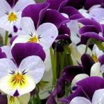 violets2-944348_1920_1050x350px
